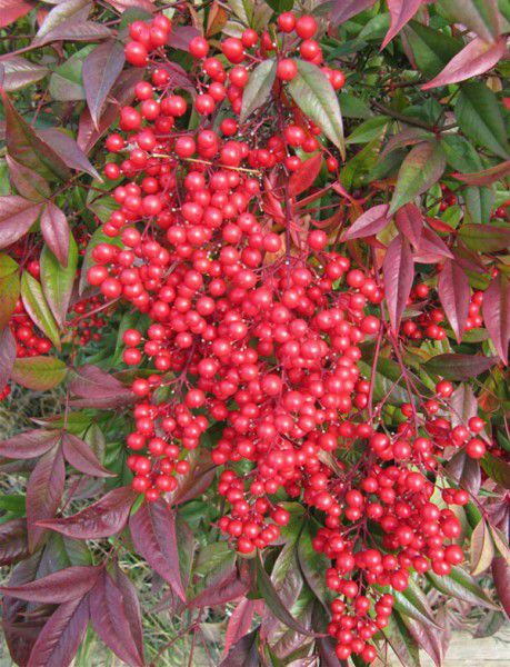 The rich red berries of Nandina domestica