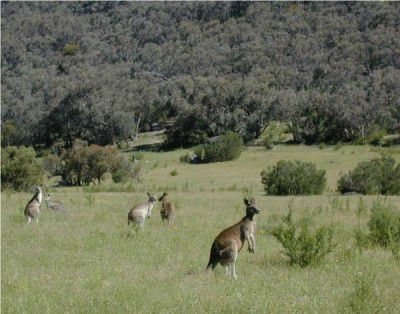 Weather saves kangaroos from cull