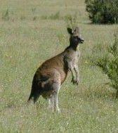 Kangaroos lr