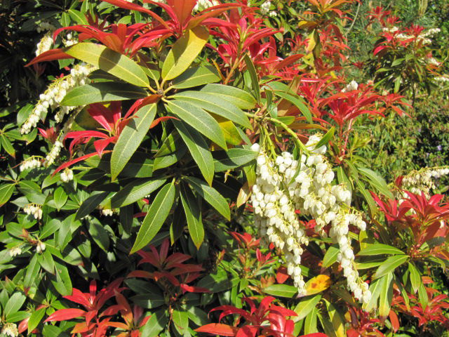 The superb leaf and flower colour of Pieris for late winter/spring.