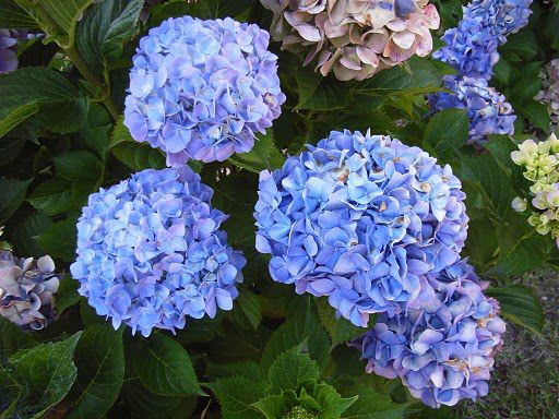 With pruning, hydrangeas will look like this.