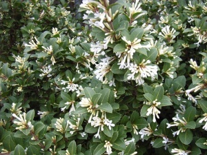"Osmanthus ""Heaven Sent"", with tight clusters of flowers... A compact, sense shrub, versatile as a hedge, on its own or grown in a large container."