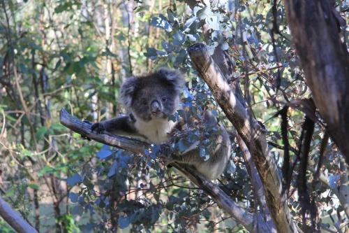 One of the koalas.