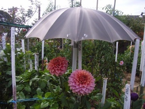 Prize-winning dahlia blooms protected from sun and rain.