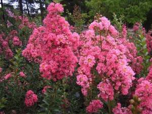 Dwarf crepe myrtles… ideal for growing in containers.