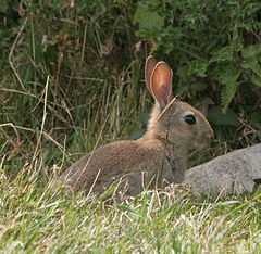 Young_wild_rabbit