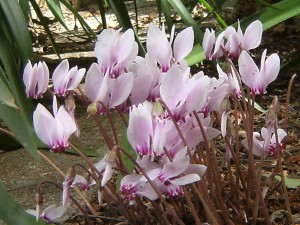 Cyclamen hederifolium... the true herald of autumn.