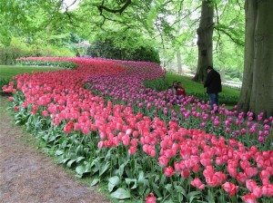 Massed tulip plantings at the famous Keukenhof Gardens in Holland… the tulips are almost touching each other.