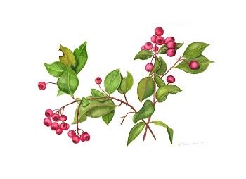 Lilly Pilly Syzygium smithii - Cornelia Buchen-Osmond