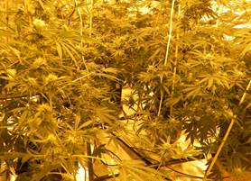 Cannabis found growing in a house in Ngunnawal.