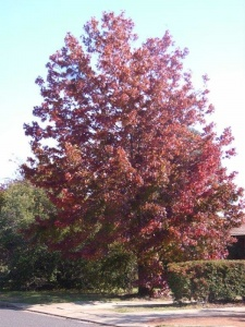 Liquidambar grows to 15m tall x 7m