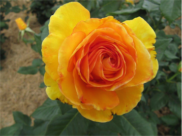 When it comes to roses, you get what you pay for… consider where you buy them, says Cedric.