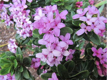 "The all-new daphne ""Spring Pink""."