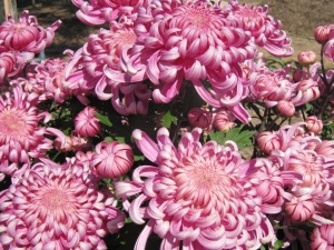 Chrysanthemums… easy to grow and can be divided into dozens of extra plants in late winter/spring for filling bare spots in the garden.