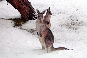 kangaroos in snow