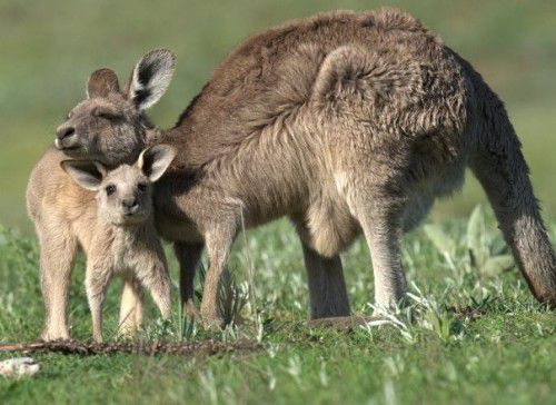kanga and joey