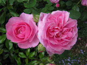 """Gertrude Jekyll""... one of Cedric's favourite David Austin roses"