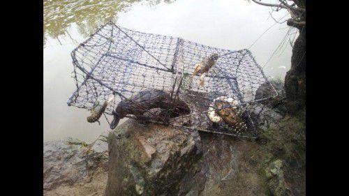 dead platypus in yabby trap