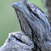 Tawny frogmouth. Photo by Stuart Rae.