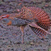 Buff Banded Rail.  Photo by Geoffrey Dabb
