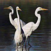 Egrets.  Photo by Geoffrey Dabb