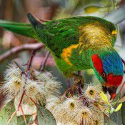 Musk lorikeet.  Photo by Geoffrey Dabb