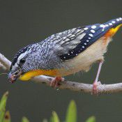 Pardalote.  Photo by Geoffrey Dabb