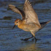 Sandpiper.  Photo by Geoffrey Dabb