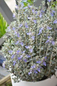 Teucrium fruticans … sky-blue flowers appear from autumn and into spring.