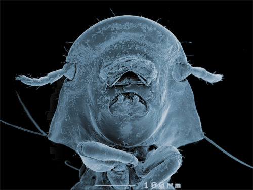 "This blue-faced louse (Campanulotes bidentatus) was found on a pigeon. The soft downy feathers of the pigeon provide a warm place for the lice to live and are also their source of food. Can you see the ""two teeth"" or mandibles these lice use to eat with? Image courtesy of Cath Covacin, Stephen Barker and Rick Webb,  University of Queensland."