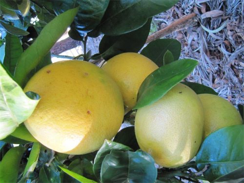 Quince for delicious paste and jellies.
