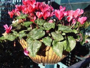 It is Cyclamen time for the garden and home.