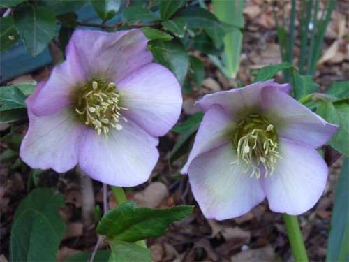 Hellebores… totally frost hardy and will multiply over the years or can be dug up and divided in spring.