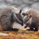 Brush Tailed Rock Wallabies