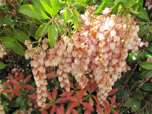 Pieris or pearl bush... a great companion for Daphne.