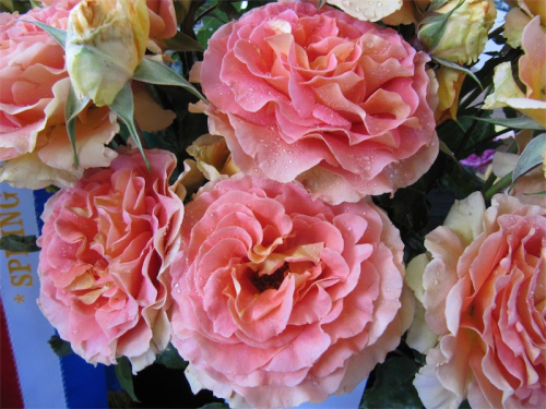 "Roses… ""Among the easiest and most rewarding of all plants, but they don't have to be constantly watered, dead-headed, pruned and sprayed – just simply enjoyed""."
