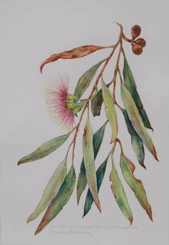 Waratah Flower Illustration