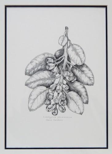 """Eucalyptus pleurocarpa"" by Maria Boreham"