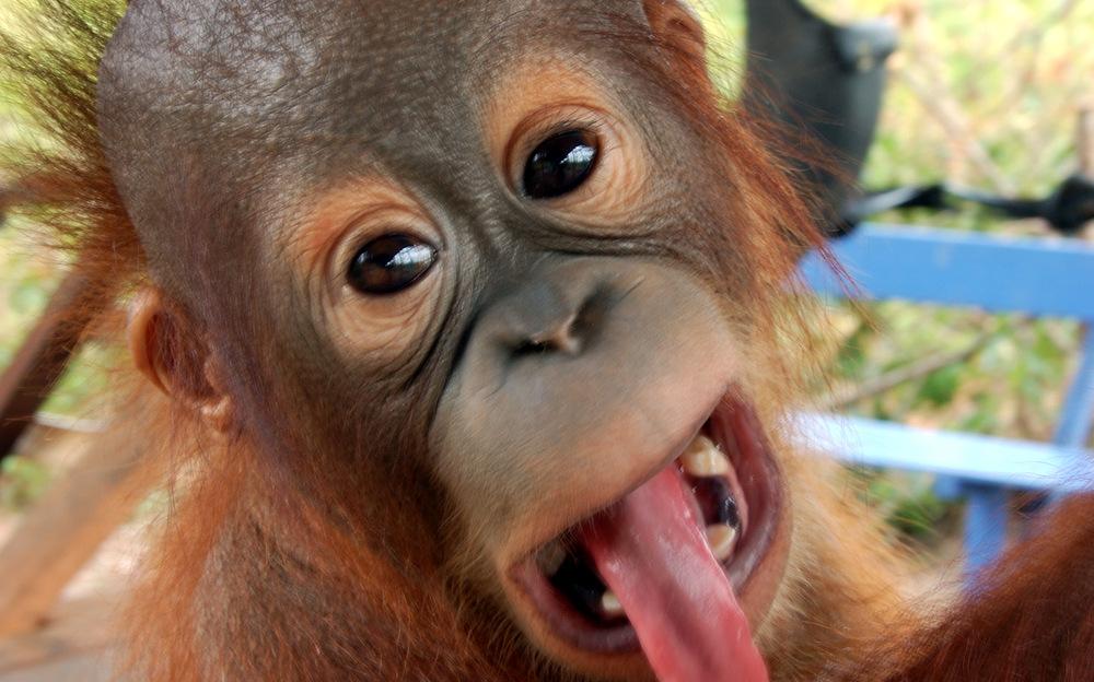 Tours Of Borneo Orangutan