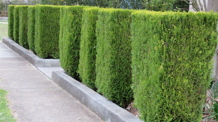 Gardening Hedge Your Bets With Conifers Canberra Citynews