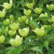 The Cornus capitata... for late spring flowers.