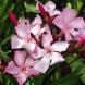 Nerium oleander… best to wear gloves when handling it.