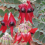 Sturt's Desert Pea in the Red Centre Garden… grows on the median strips of Alice Springs.