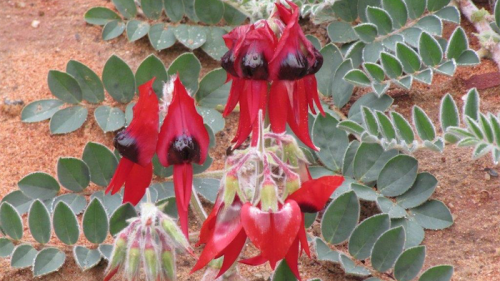 Gardening getting a sense of the red centre canberra citynews sturts desert pea in the red centre garden grows on the median strips of alice mightylinksfo