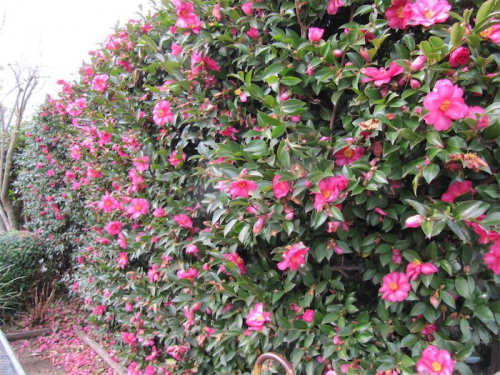 Gardening time to make the most of camellias canberra for Camelia sasanqua