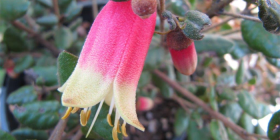 "Canberra's centenary flower Correa ""Canberra Bells""... a compact, small shrub with two-tone red and cream flowers."