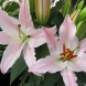 Liliums… a long flowering period and many are highly fragrant.