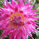 Dahlias… it's time to dig them up for winter.