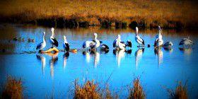 jerra pelicans