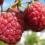Raspberries... extend the growing season by planting the summer and autumn fruiting varieties.